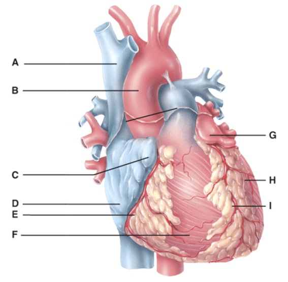 Anatomy And Physiology Questions - The Cardiovascular System: The ...