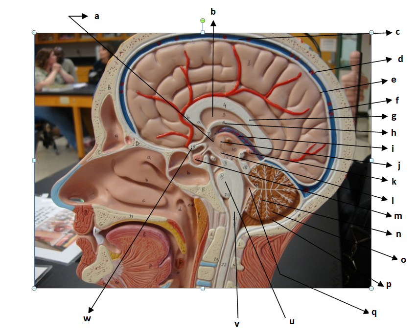 Nervous System - The Brain And Cranial Nerves - ProProfs Quiz