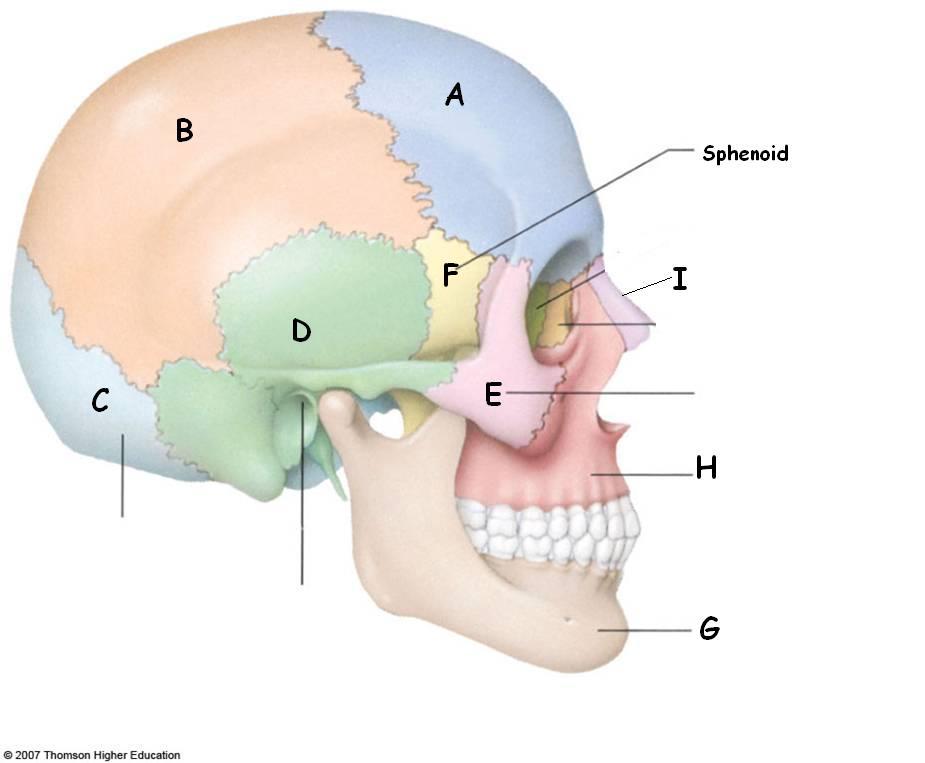 Human Skull Anatomy Quiz