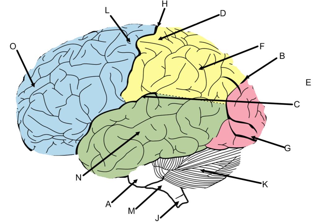 Cerebral Cortex Anatomy Quiz Proprofs Quiz