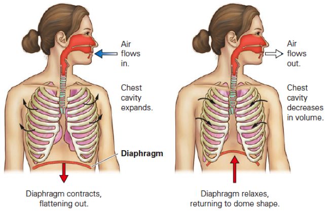 Respiratory System Quiz - Skill 1 And Skill 2