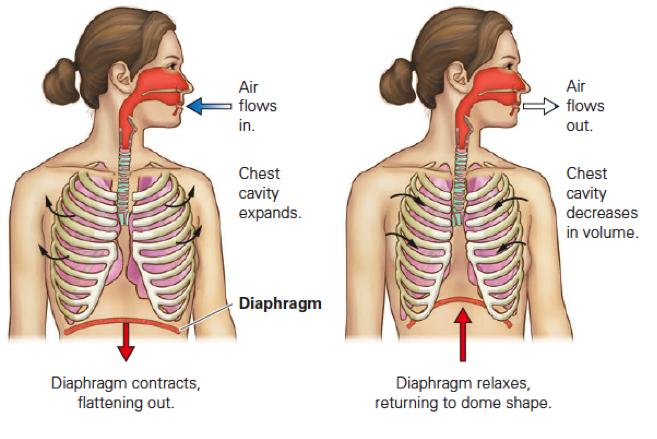 Respiratory System Quiz - Skill 1 And Skill 2 - ProProfs Quiz