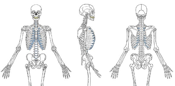 how many bones are there in the human body? - proprofs, Human Body
