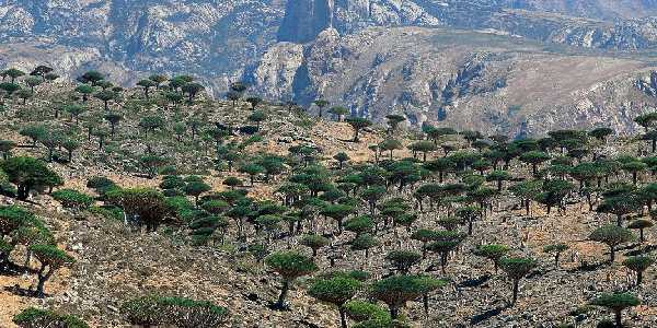 Isolation. Isolation is responsible for most of it. Socotra was once a part of the geological mass
