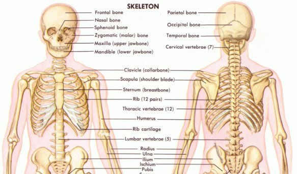 Quiz on human skeletal system proprofs quiz which of these is not a job of the skeletal system ccuart Images