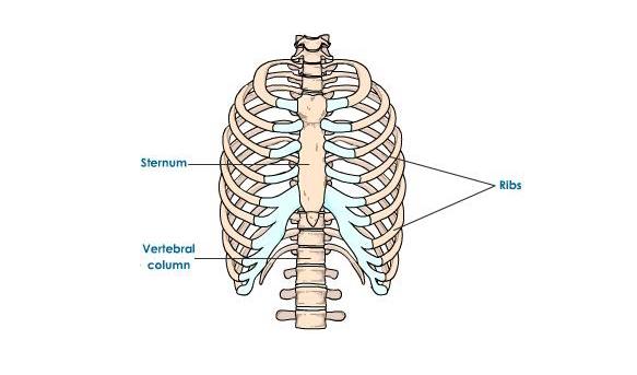 Quiz On Human Skeletal System