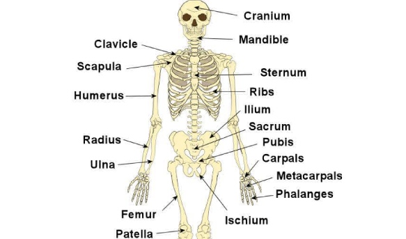 Quiz On Human Skeletal System ProProfs Quiz