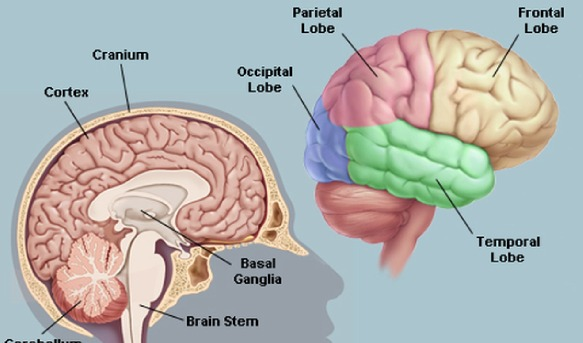 Parts of the brain quiz proprofs quiz the lobes are in the rear of the brain and and contain the visual cortex which processes sight ccuart Image collections