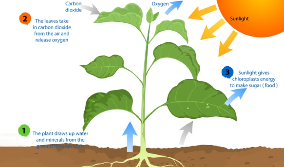 Process Of Photosynthesis In Green Plants Quiz 1 Proprofs Quiz
