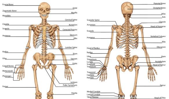 Quiz On Human Skeletal System ProProfs Quiz – Chapter 5 Skeletal System Worksheet Answers