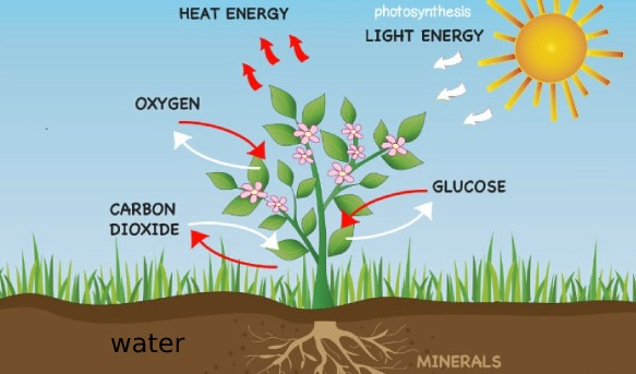 Process of photosynthesis in green plants quiz 1 proprofs quiz we know that a leaf needs 4 things in order to complete the process of photosynthesis what are these four things use the diagram to help you ccuart