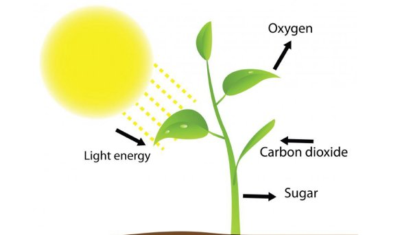 Process of photosynthesis in green plants quiz 1 proprofs quiz what gas does the leaf give off into the air during photosynthesis ccuart Images
