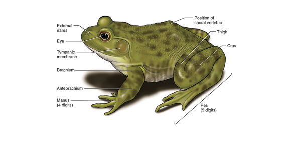 frog anatomy diagram labeled explain the anatomy and physiology of frog body part flashcards  anatomy and physiology of frog body