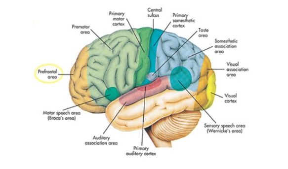 Parts of the brain quiz proprofs quiz the cerebrum controls how we hint ccuart Gallery