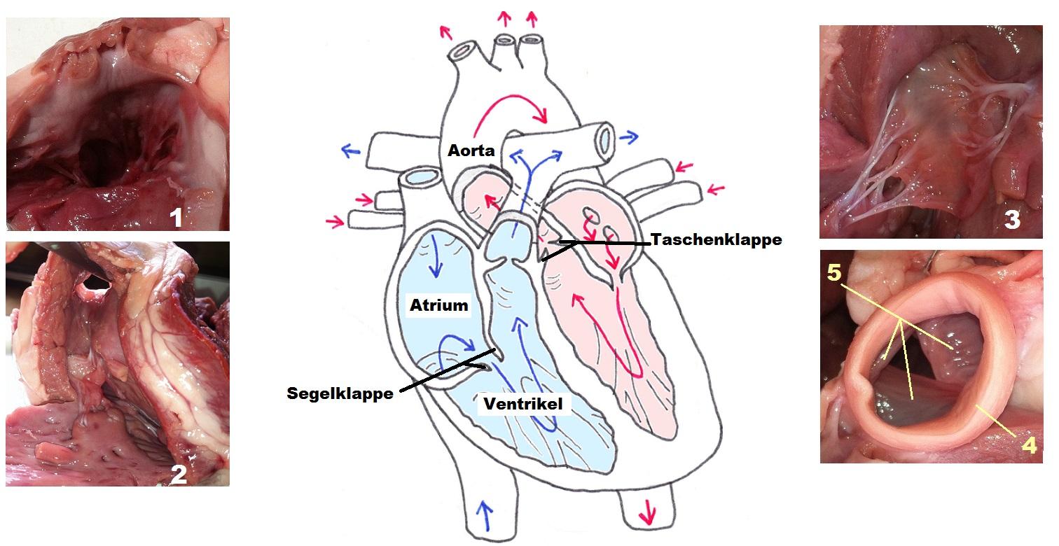 Anatomie Des Herzens - ProProfs Quiz