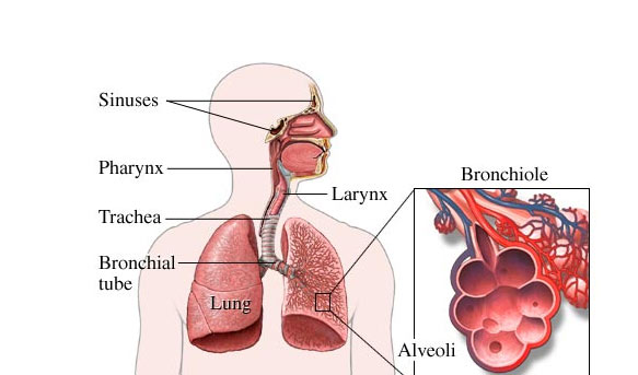 Parts Of The Respiratory System Quiz Proprofs Quiz 815535