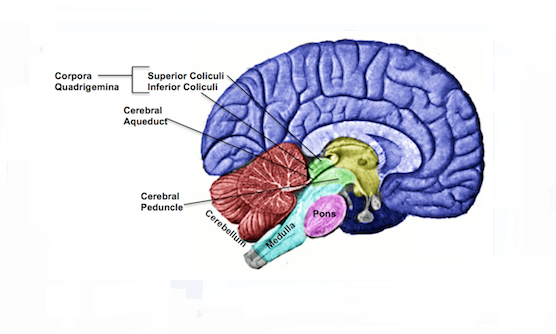 Parts of the brain quiz proprofs quiz the brain stem is made up of the midbrain ccuart Image collections