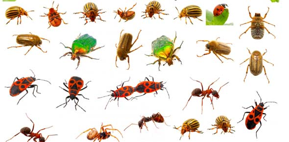 Which insect can live for weeks without its head before IT