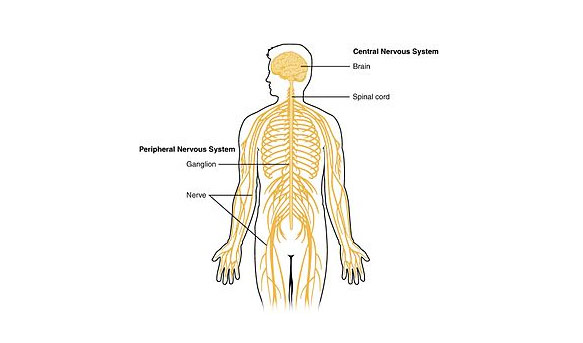 Trivia Questions Over Nervous System - ProProfs Quiz