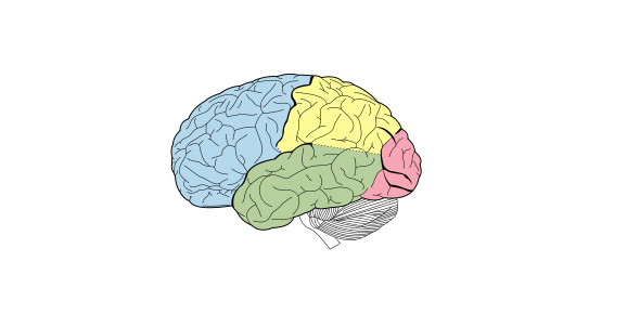 Parts Of The Brain Quiz Proprofs Quiz