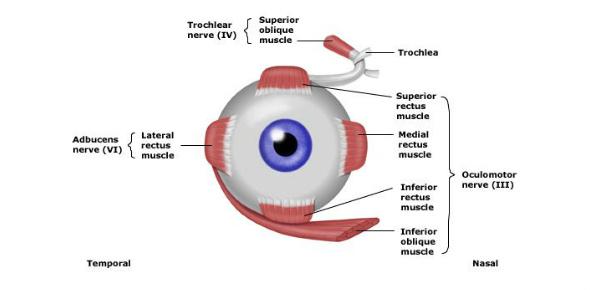 Intramuscular & Extraocular Muscles Quiz - ProProfs Quiz