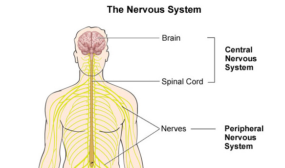 Nervous System Quiz ProProfs Quiz – Central Nervous System Worksheet