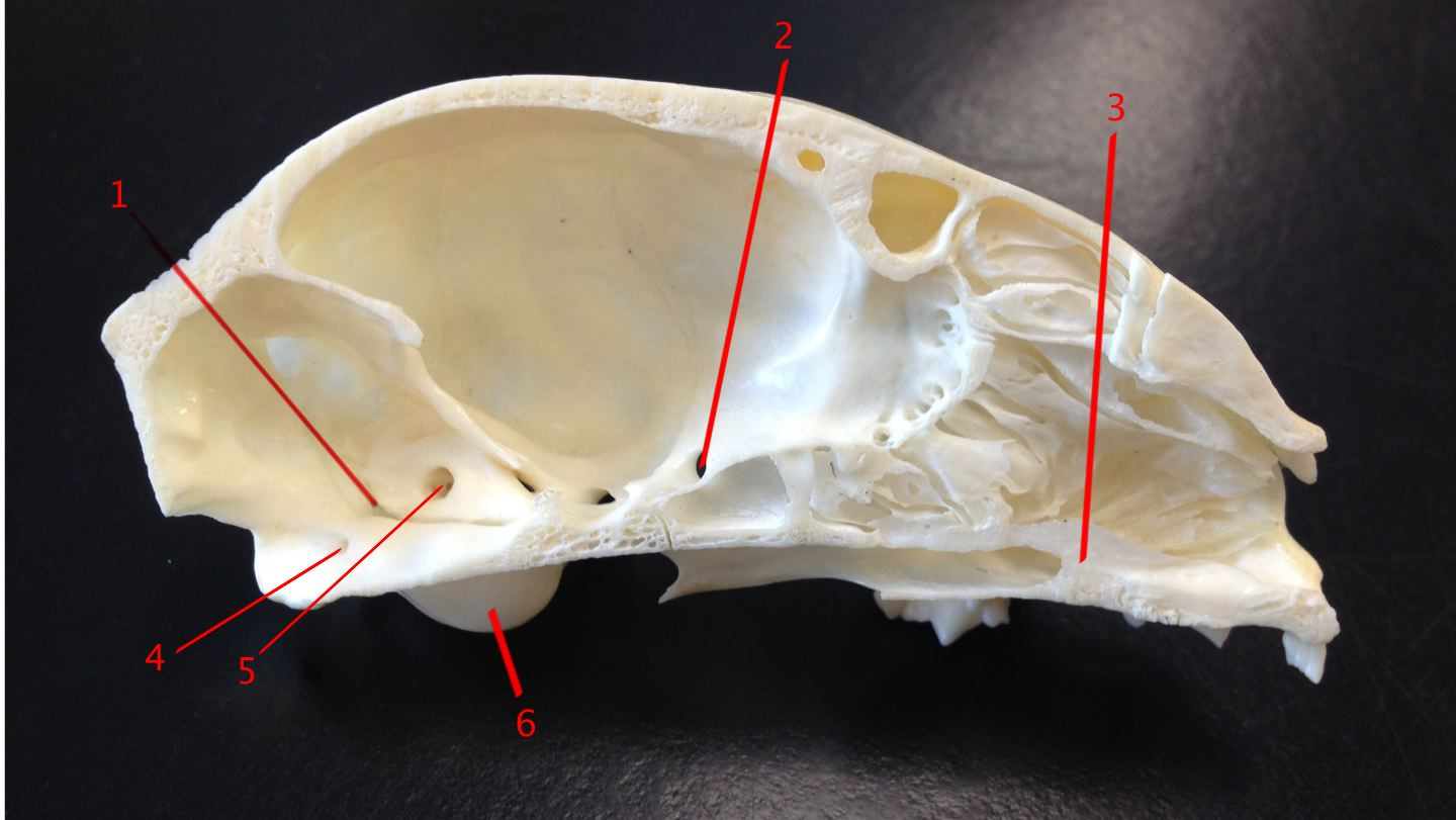 Anatomy Of Cat Skull - ProProfs Quiz