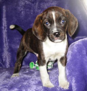 What Is Your Favorite Queen Elizabeth Pocket Beagle Color