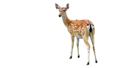 deer Quizzes & Trivia
