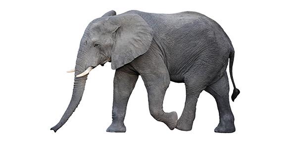 elephant Quizzes & Trivia
