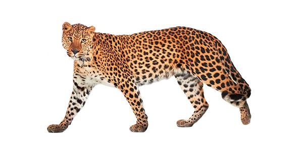 leopard Quizzes & Trivia