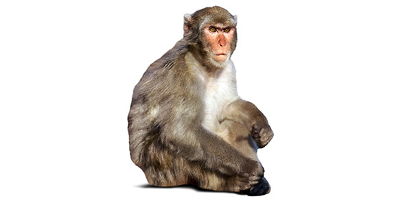 monkey Quizzes & Trivia