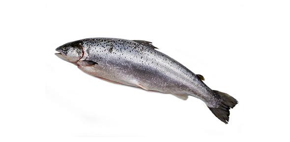 salmon Quizzes & Trivia