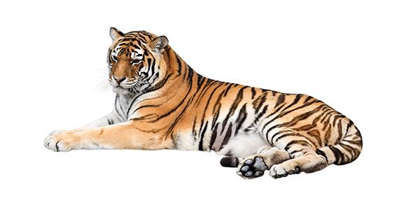 tiger Quizzes & Trivia