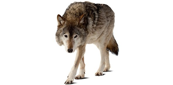 Wolf Quizzes, Wolf Trivia, Wolf Questions