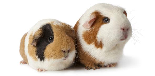 guinea pig Quizzes & Trivia