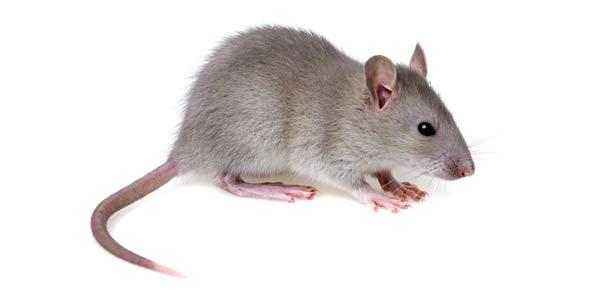 rat Quizzes & Trivia