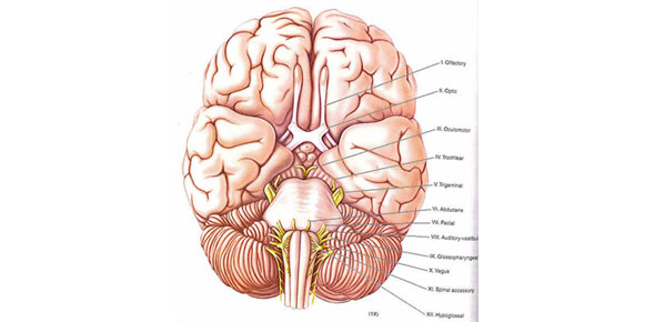 50 Question Anatomy 214 Cranial Nerves Test Proprofs Quiz