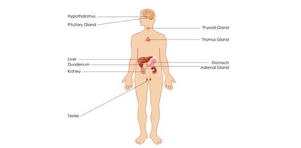 endocrine system Quizzes & Trivia