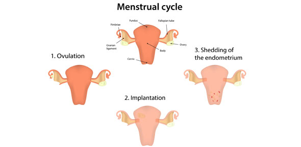 menstrual cycle Quizzes & Trivia