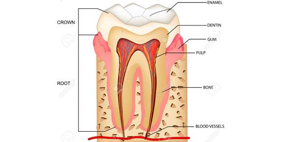 Maxillary Premolars - ProProfs Quiz