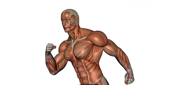 muscular system Quizzes & Trivia