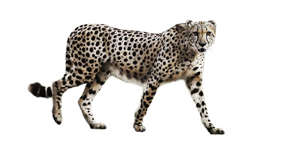 Cheetah Quizzes, Cheetah Trivia, Cheetah Questions