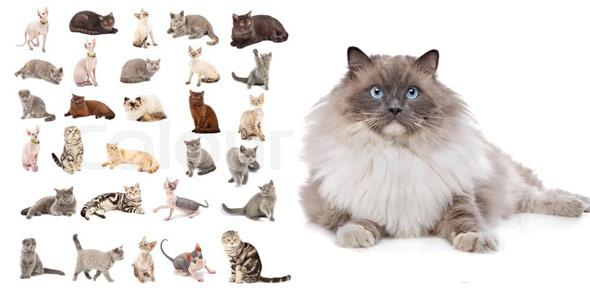 cat breed Quizzes & Trivia
