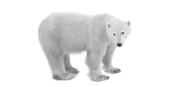 polar bear Quizzes & Trivia