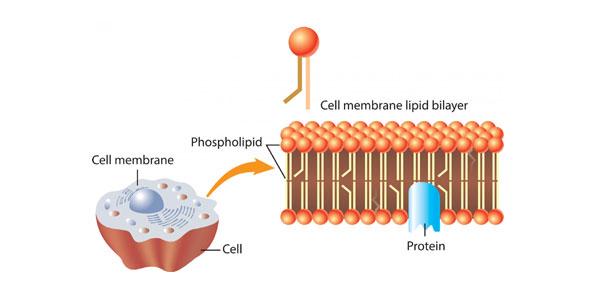 cell membrane Quizzes & Trivia