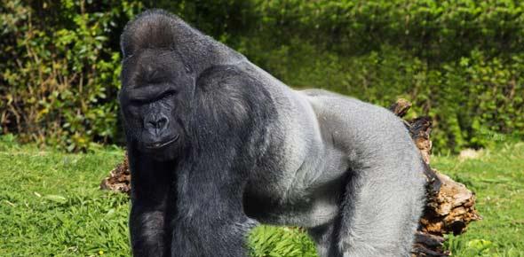 gorilla Quizzes & Trivia