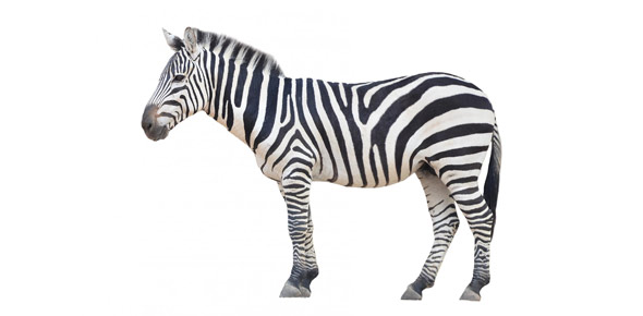 zebra Quizzes & Trivia