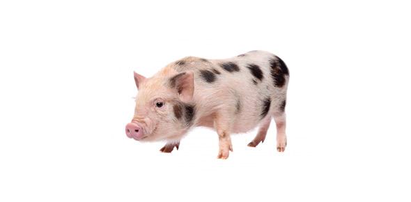 swine Quizzes & Trivia