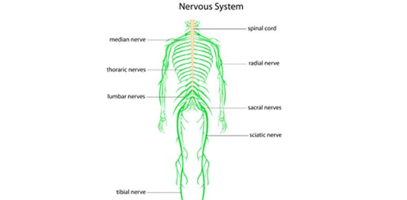 Anatomy Test 3 - PNS (Peripheral Nervous System) And Digestive ...